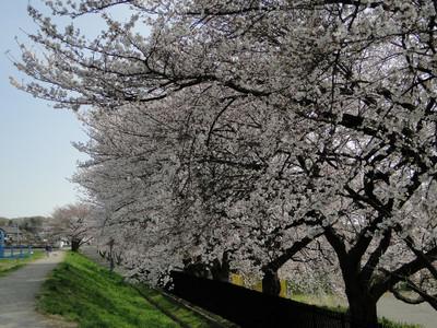 Sakura05_3